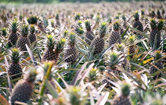 Ananas Nerede Yetişir Ananasgentr